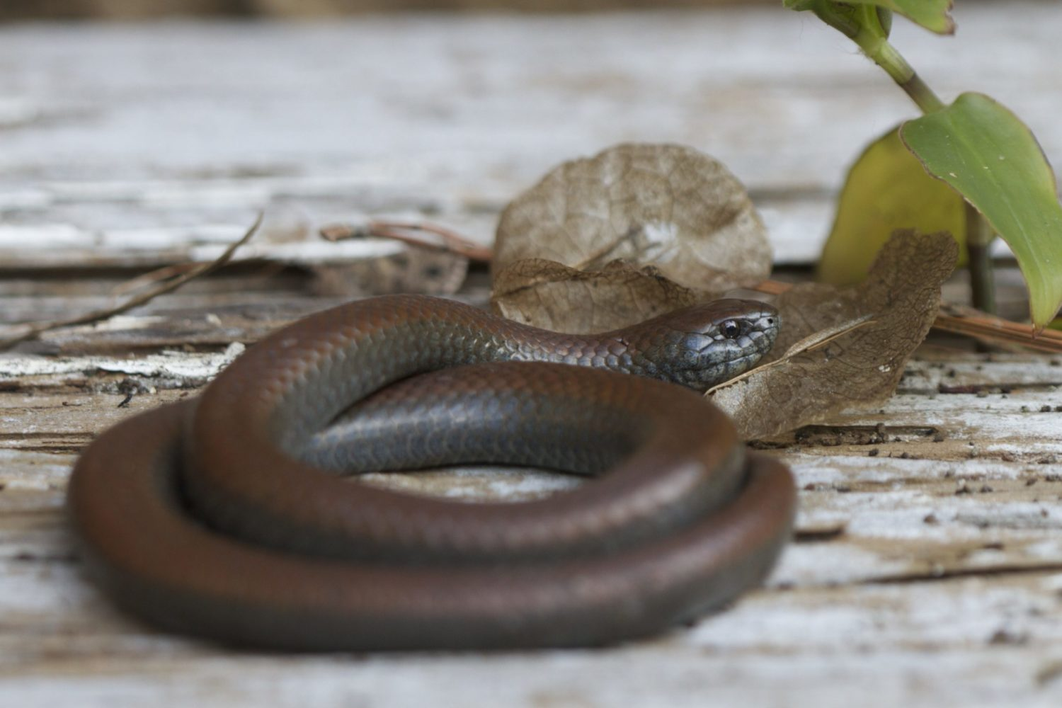 Coiled house snake