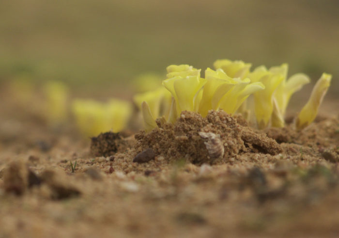 Closed yellow oxalis flowers pushing their way through red soil